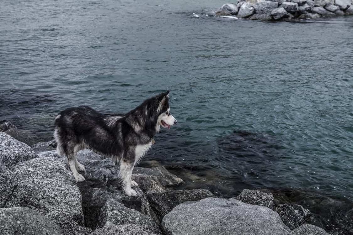 Huskies Are The Best Dogs In The World. Find Out Why