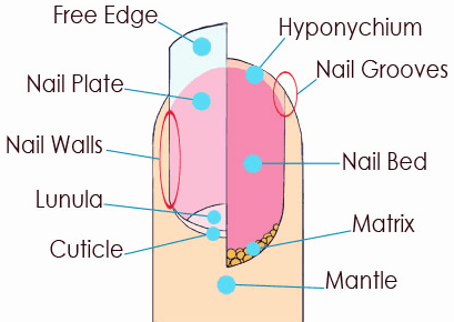 nails structure