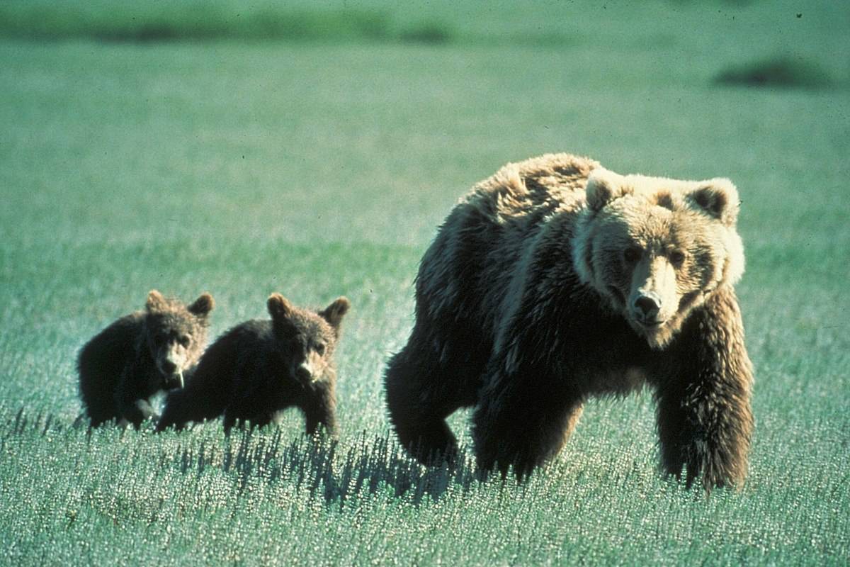 who runs faster? grizzly bear or horses