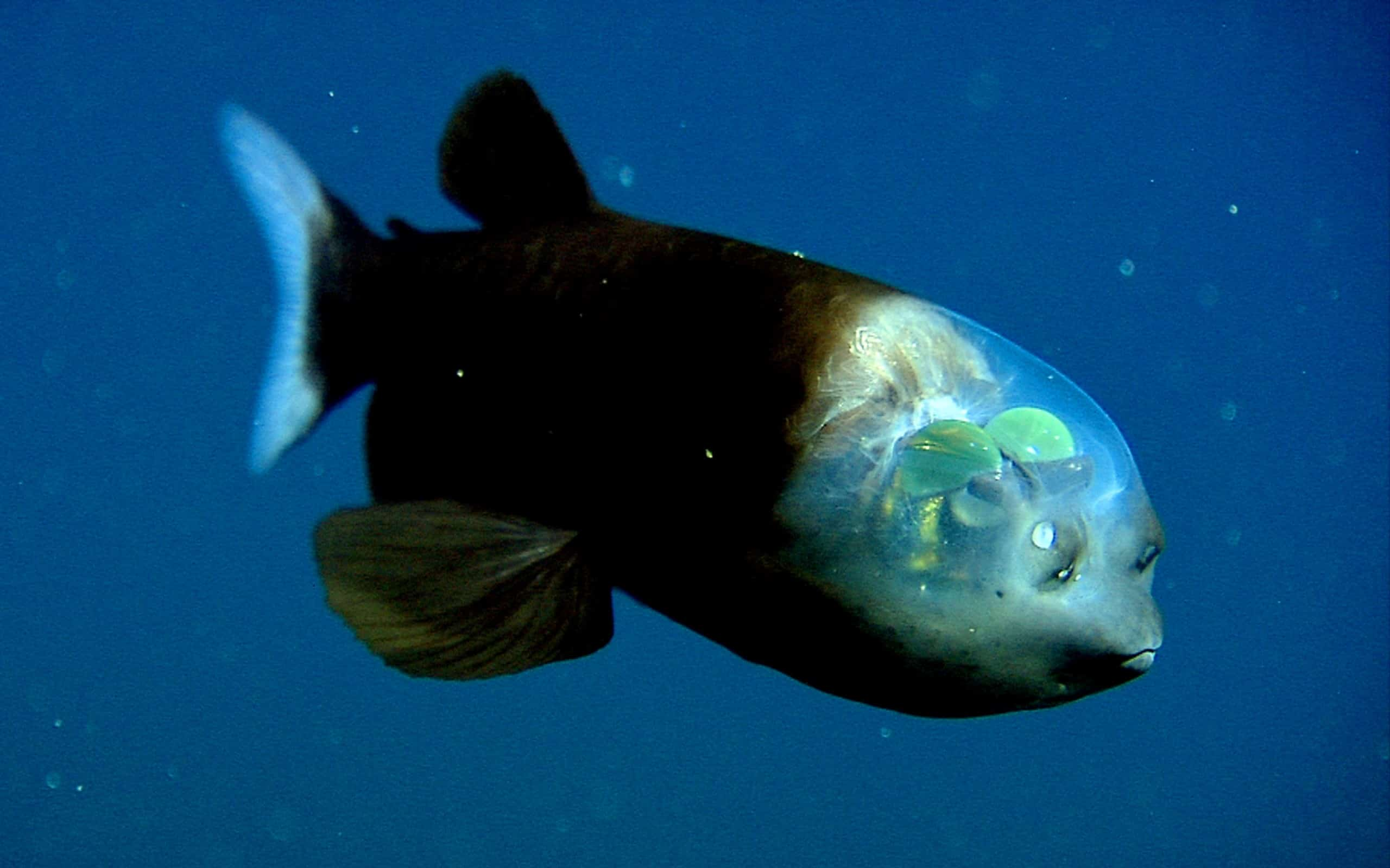 the fish with the transparent head